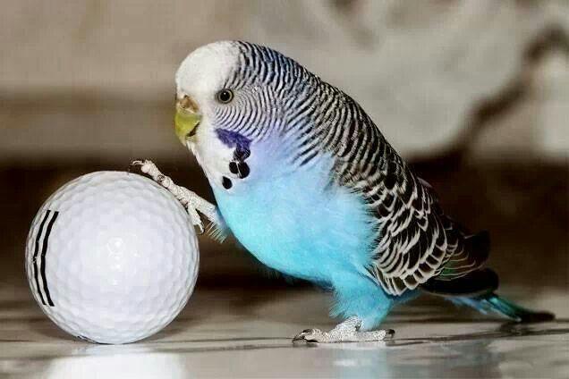 Muhabbet Kuşumun Yumurtaları Boş Çıkıyor, Neden Olabilir?